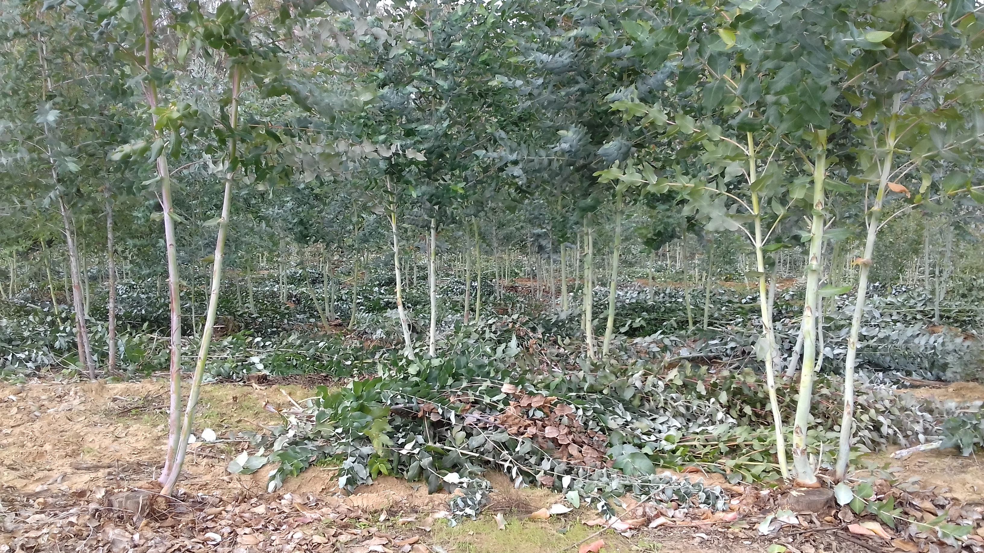 After picking, the coppices are depressed and pruned.On each variety, the pickers only kept the stems of the future and pruned them.
