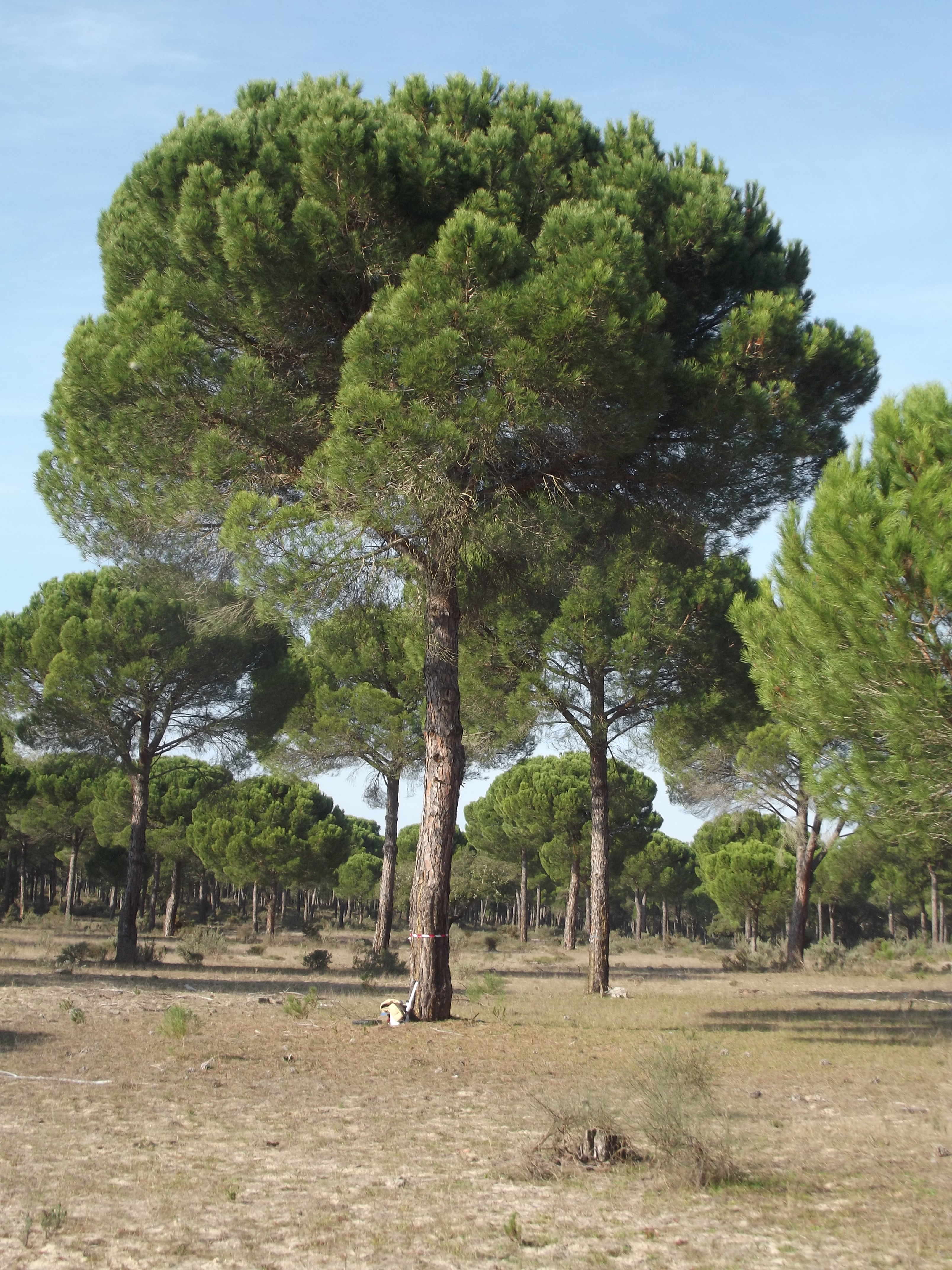 Pure natural stone pine stand