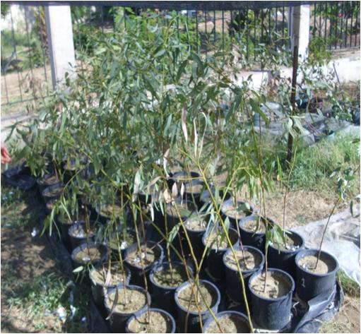 General view of experimental design adopted for Eucalyptus camaldulensis pot cultures
