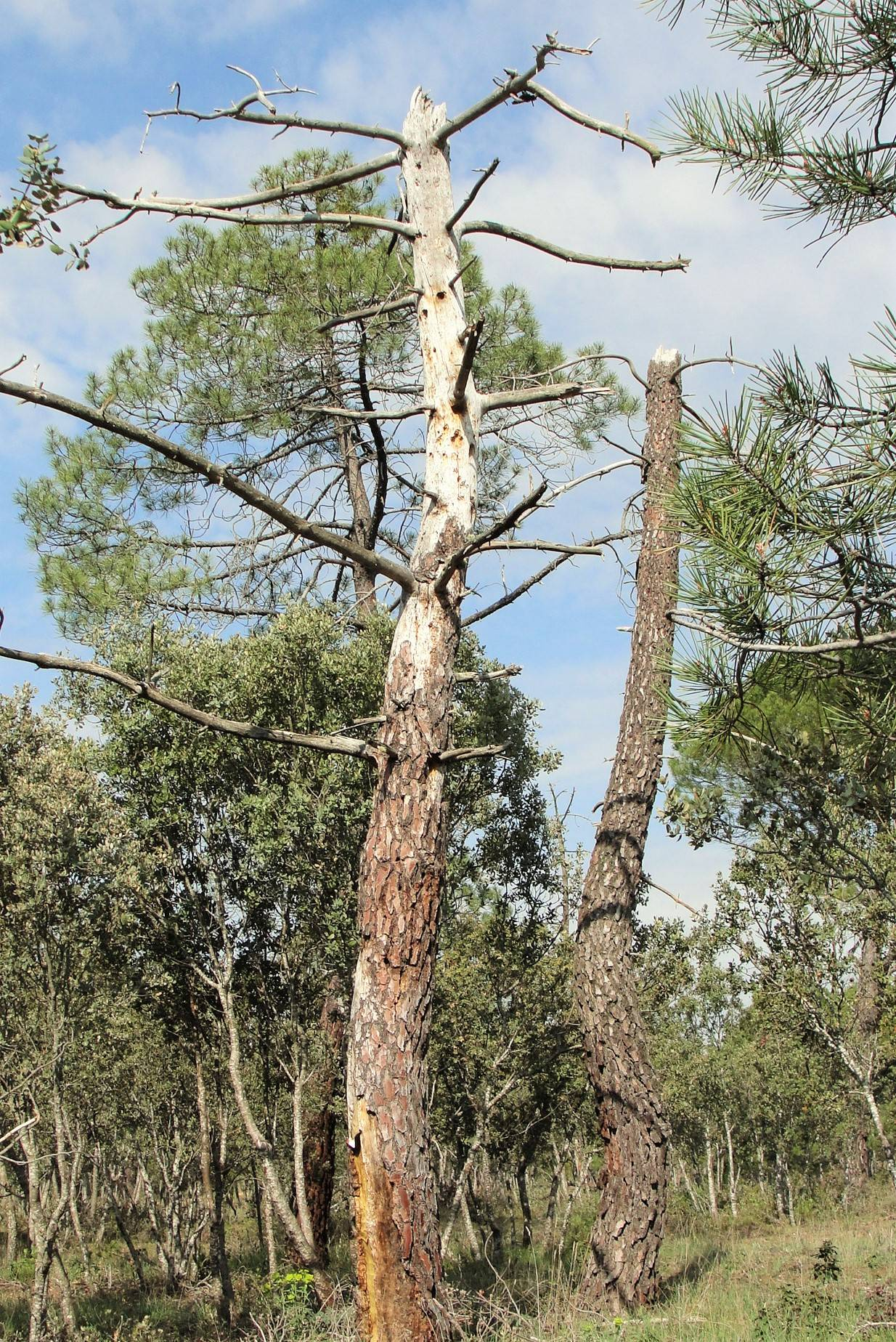 Pinus pinaster decay. (c) Cristina Prieto