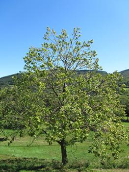 Chestnut tree impacted by ink disease