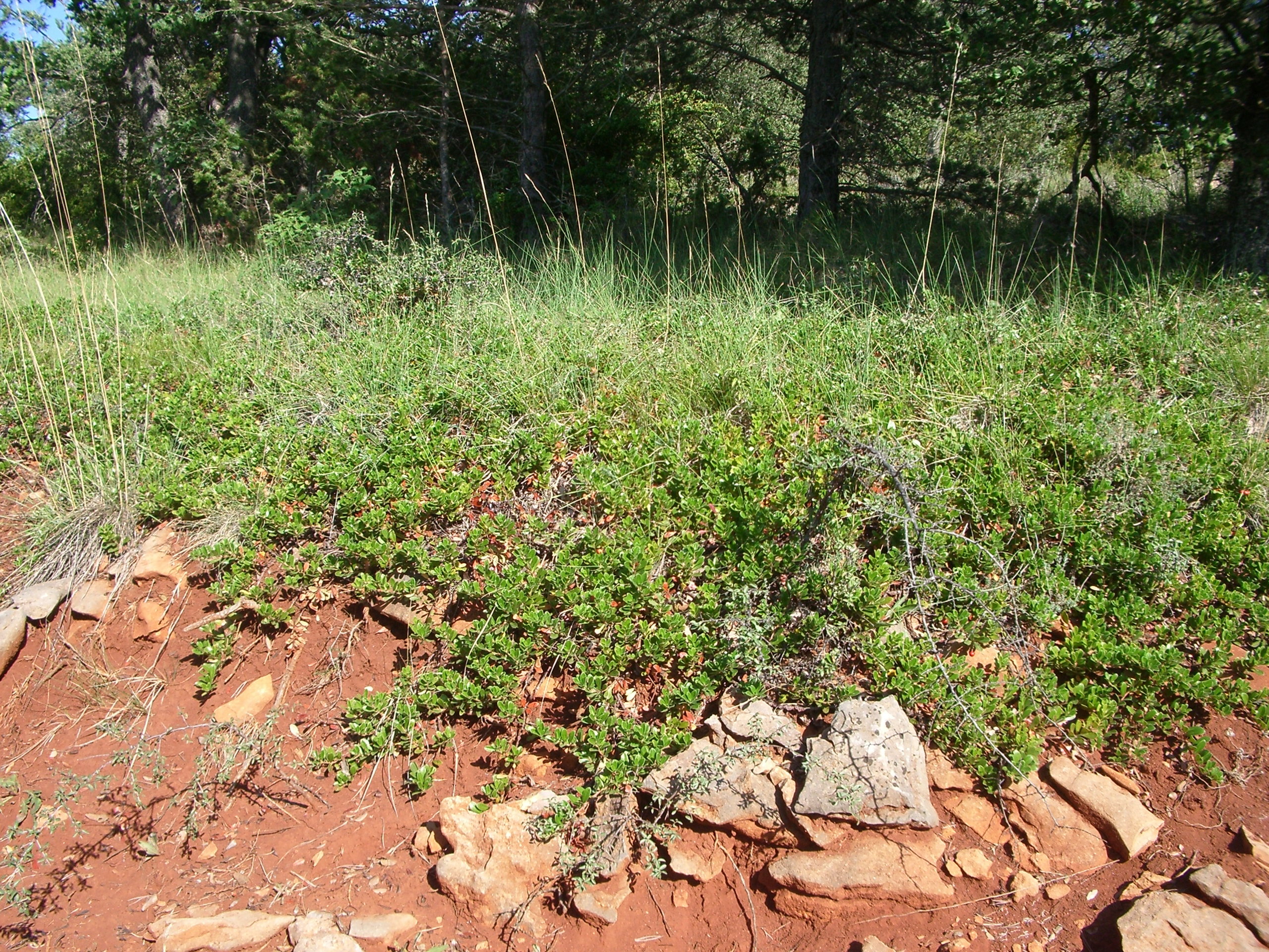 Arctostaphylos uva-ursi groundcover to protect the soil from erosion. Source: GPAM-CTFC