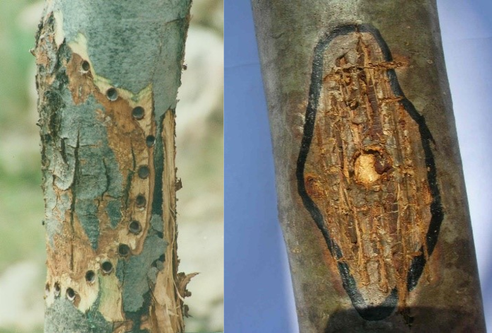 Application methods of hypovirulent strains (3) depositing of the product in di-cut holes around the canker, (4) basting on the scarifies surface of the canker