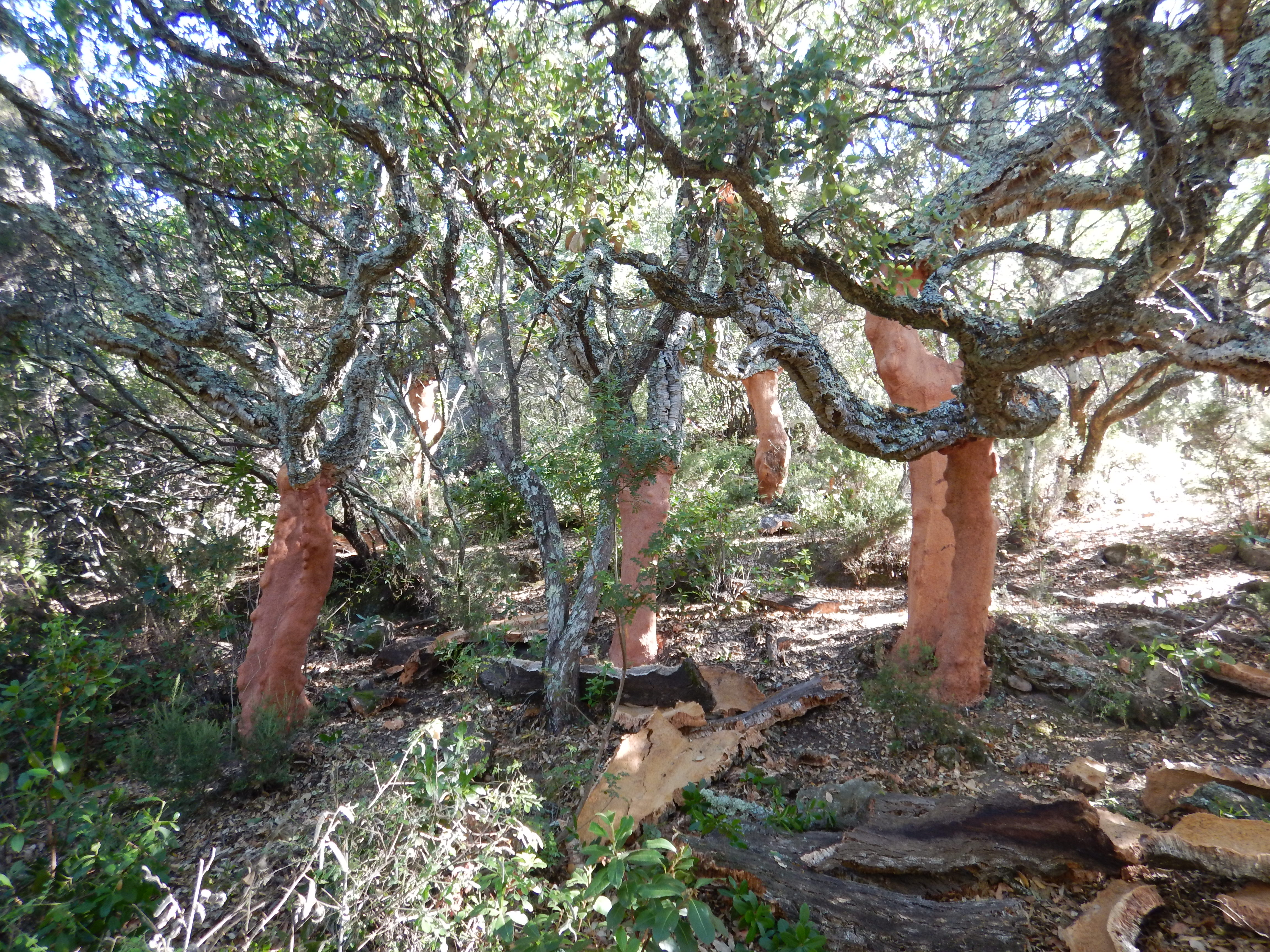 Cork harvesting work in the context of sustainable management