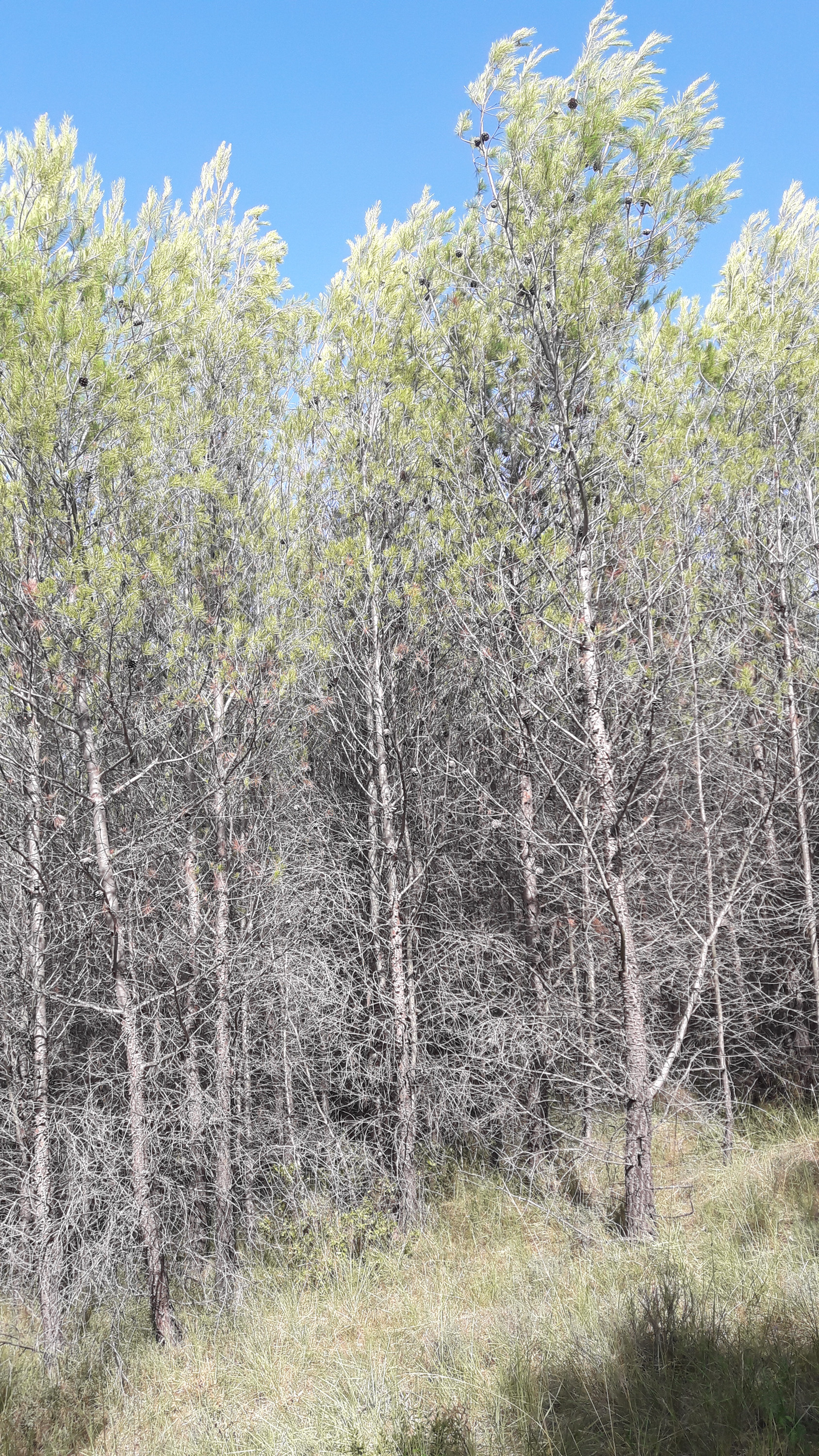 Young Aleppo Pine forest