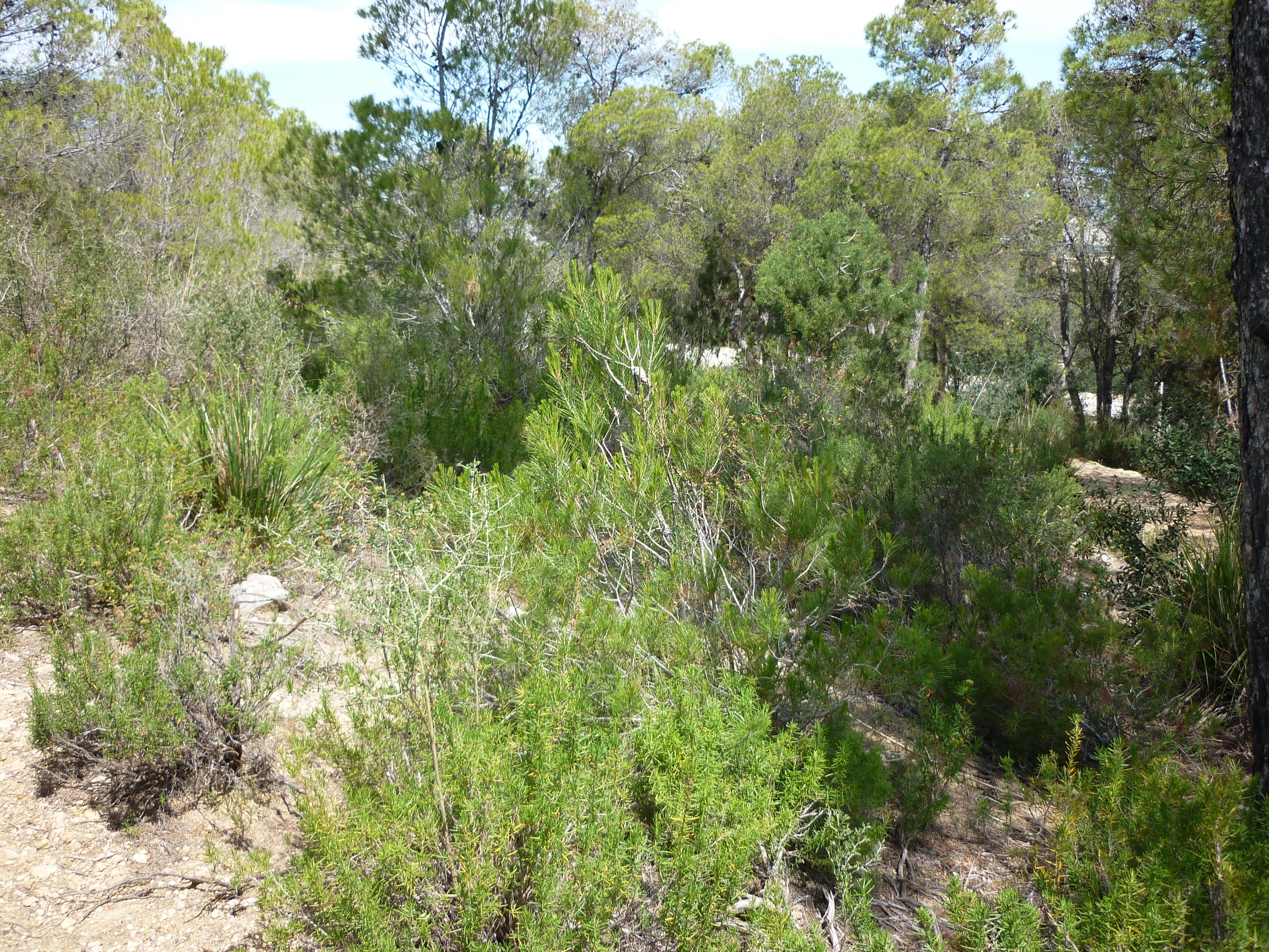 Distribution of Erica Multiflora and Cistus monspeliensis in natural Tunisian Aleppo pine forest.