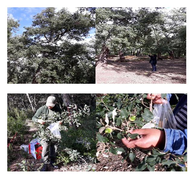 Picking cork oak acorns