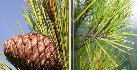 Appearance of cone and needdles of Pinus brutia (INRGREF, 2017)