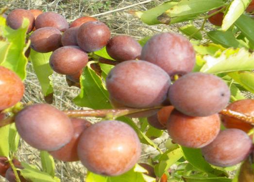 Fruits of Ziziphus jujuba (experimental station-Rouhia)
