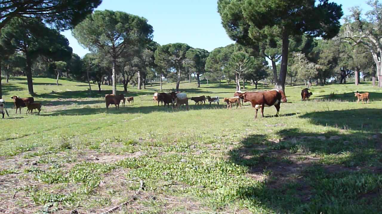 Abegoaria bovine herd livestock.