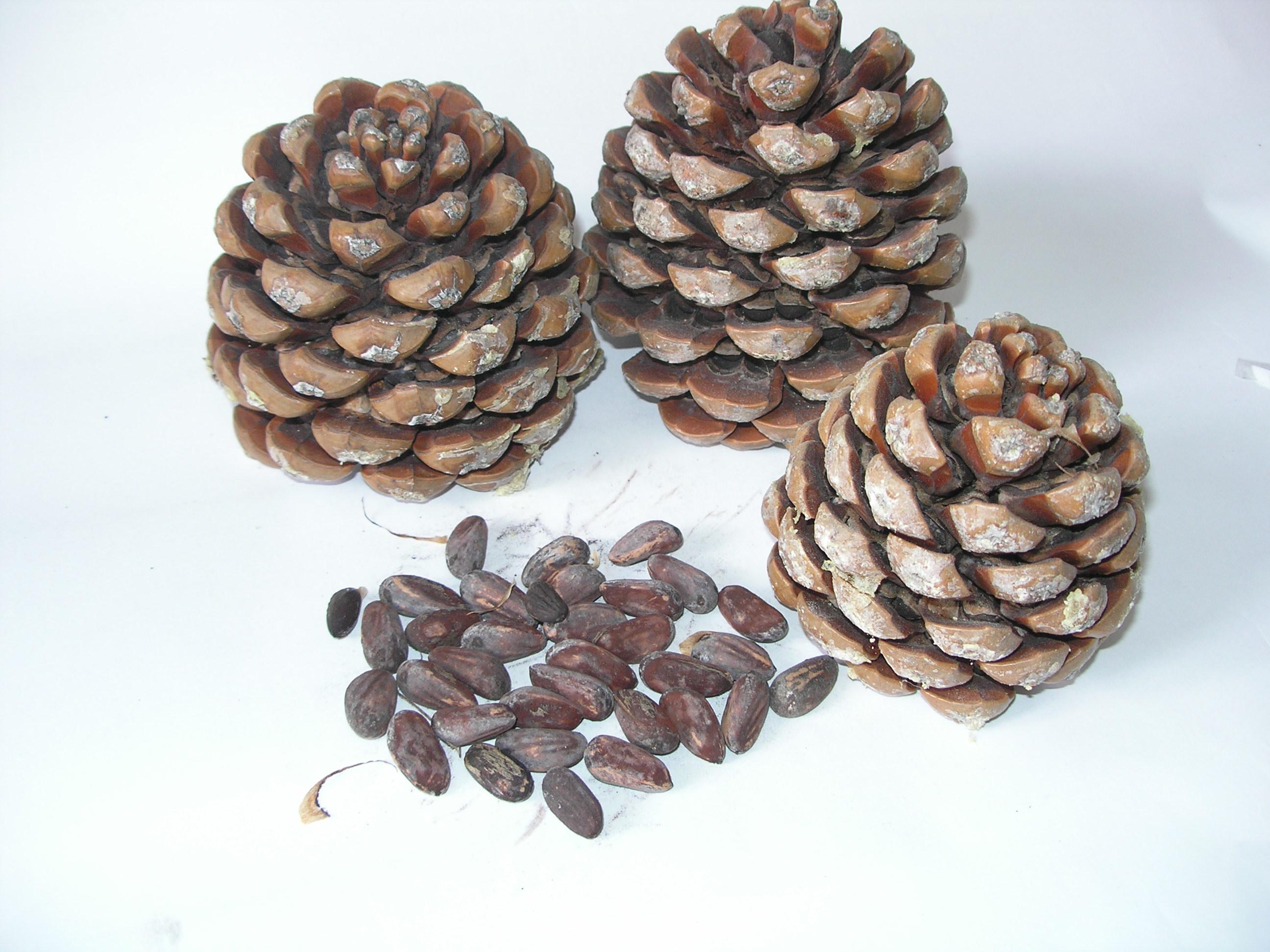 Mediterranean pine cones and nuts