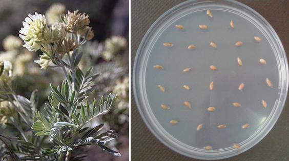 Leaf, flower and Seeds of Anthyllis barba-jovis