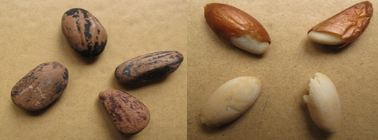 Pinus pinea seeds (INRGREF, 2015)