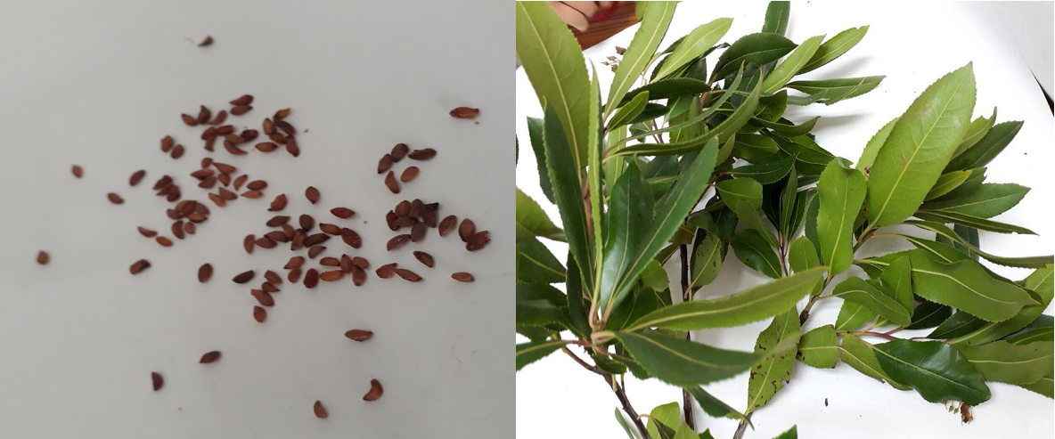 Appearance of seeds and leaves of Arbutus unedo (INRGREF, 2017)