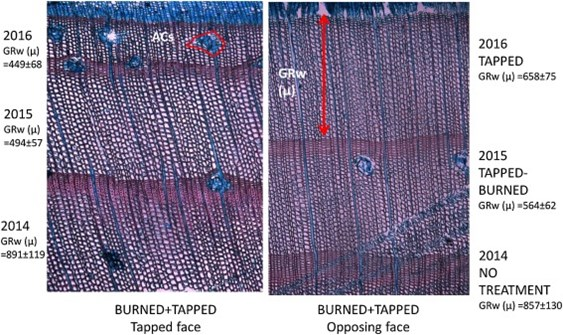 Cross section of xylem tissue of a burned+tapped tree in the tapped face and the opposing face.
