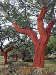 Debarked cork oak stand. (c) CICYTEX
