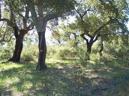 Cork oak stand. (c) CICYTEX
