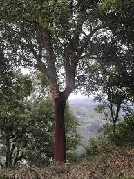 Cork oak stand in Extremadura. (C) CICYTEX