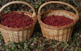 Baskets of hawthorn fruit (Crataegus monogyna) harvested in France by AFC members. Source:   Marie-Claire/Régis Buffière,  http://www.cueillettes-pro.org/-Plantes-de-cueillette-.html