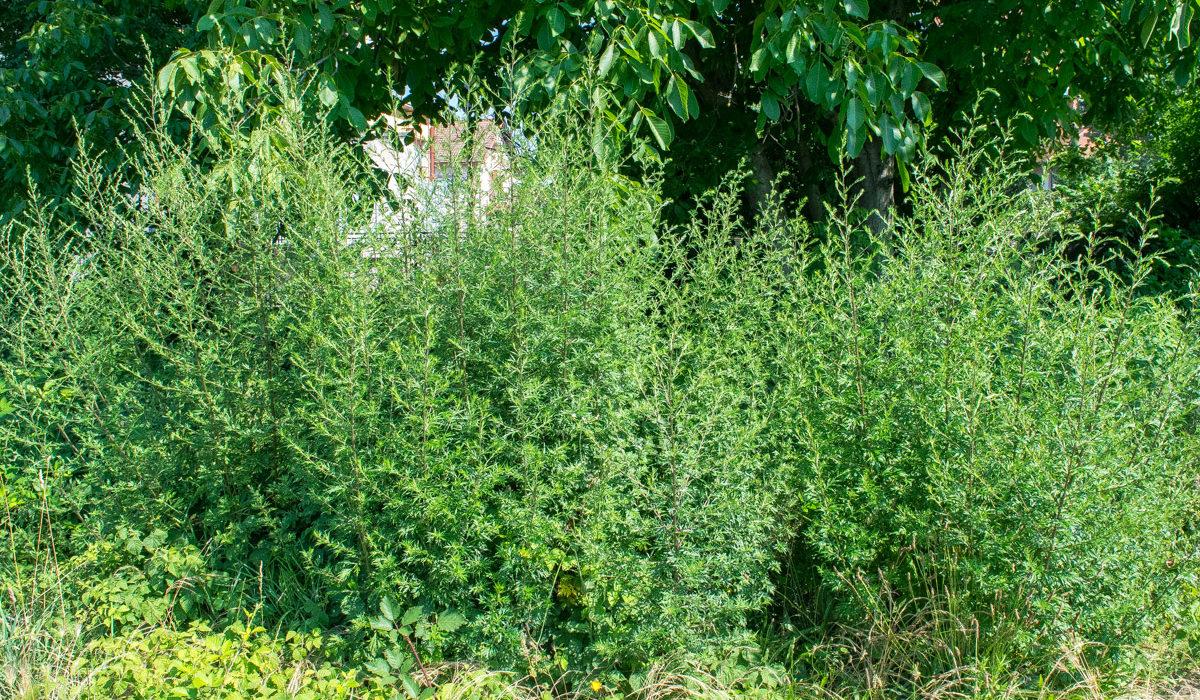 Wormwood ( Artemisia absinthium L.)https://www.plantea.com.hr/divlji-pelin/