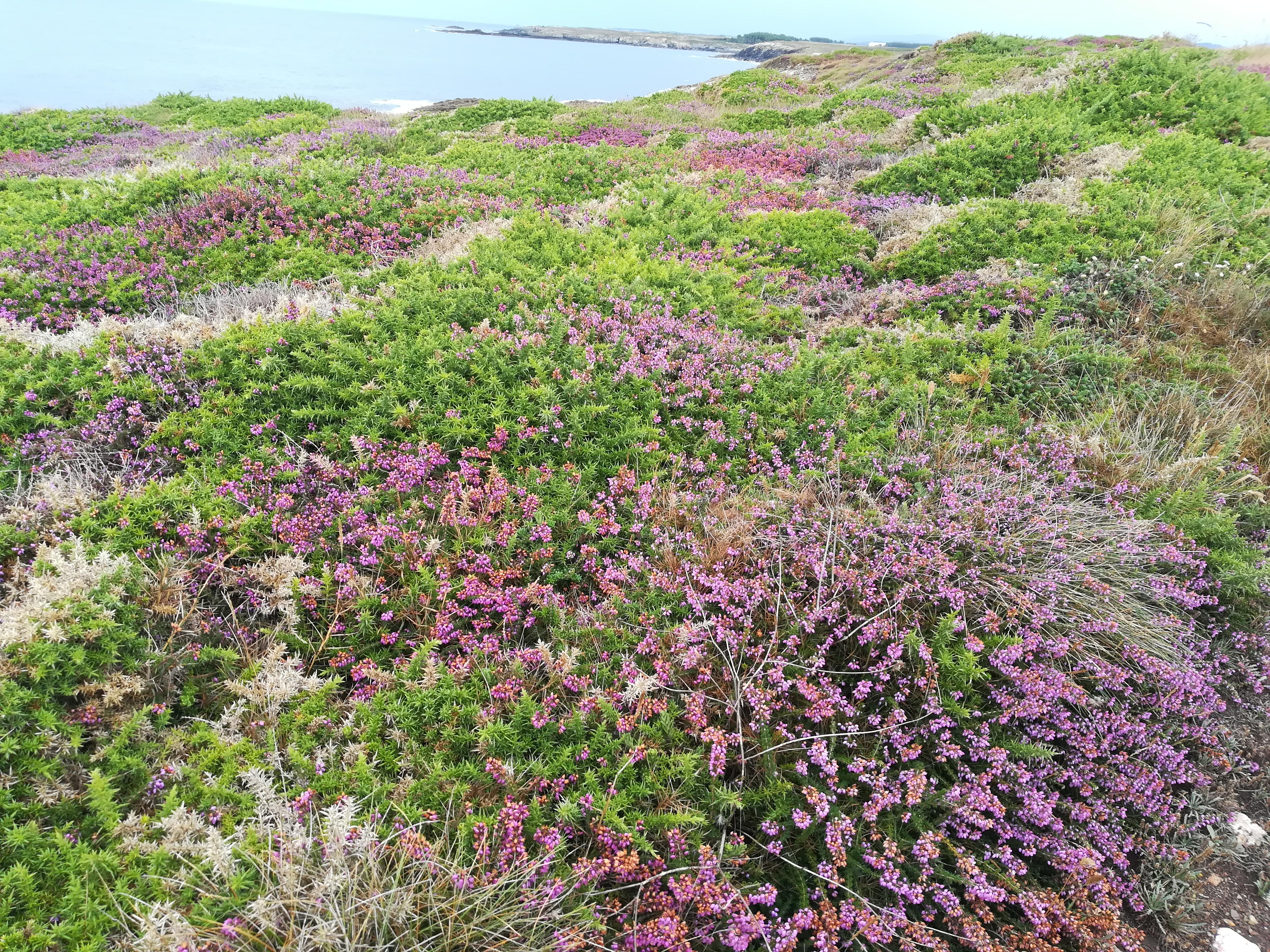 High density wild heather population (Calluna vulgaris) in Galicia (Spain). Source: GPAM-CTFC.