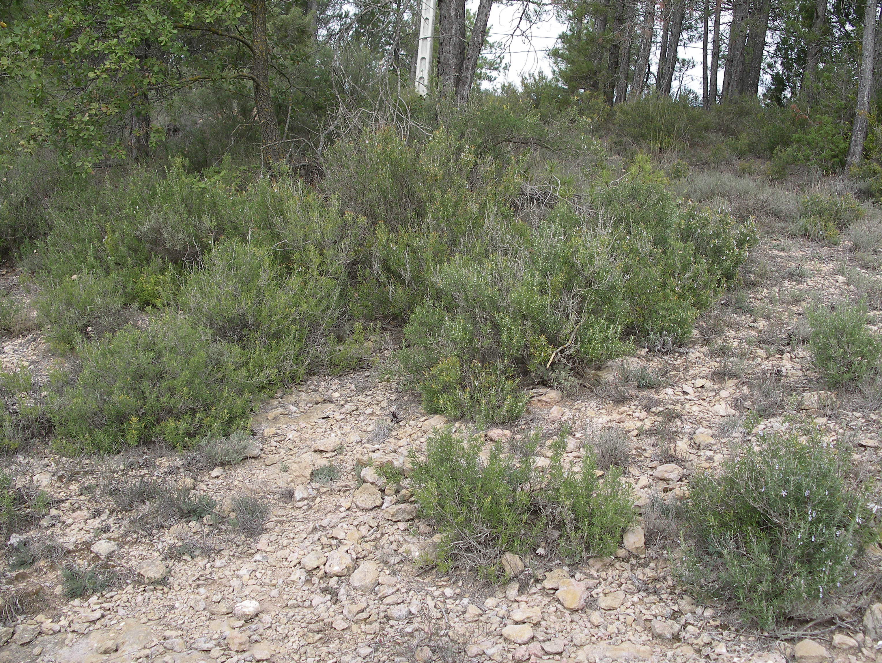 Rosmarinus officinalis (Rosemary) wild population