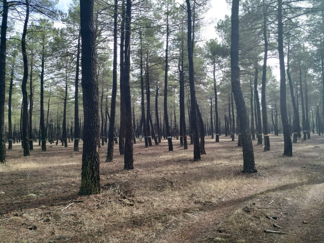 Resin-tapped Pinus pinaster stand (Javier Calvo)