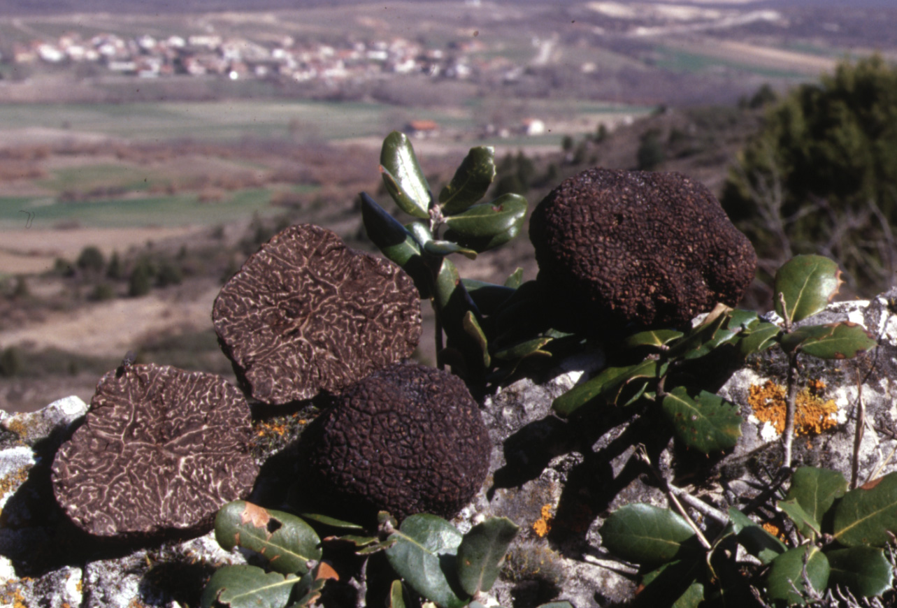 Tuber melanosporum production area. Source: CESEFOR