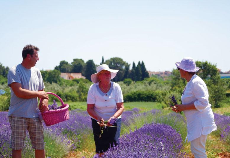 lavander field in Istria
