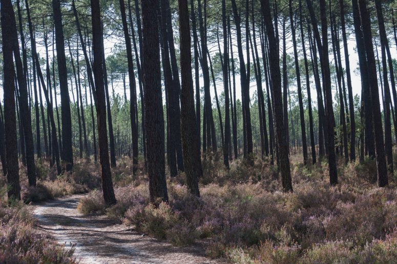 Maritime pine forest in the Landes
