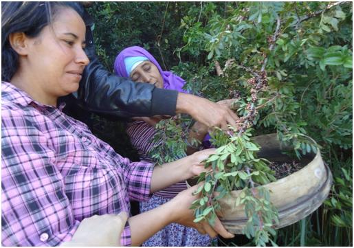 Pistacia lentiscus fruits harvest