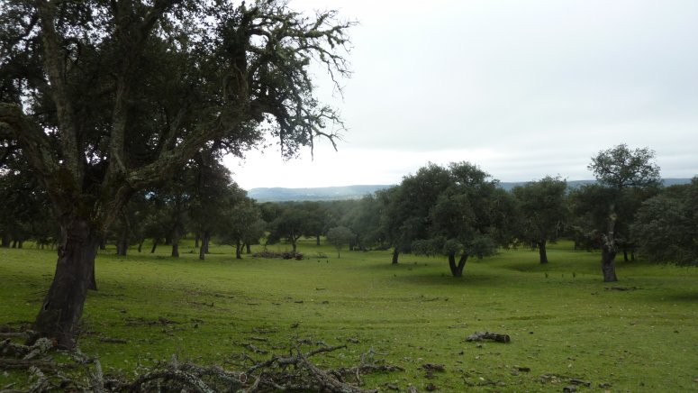 Quercus suber stand in Extremadura