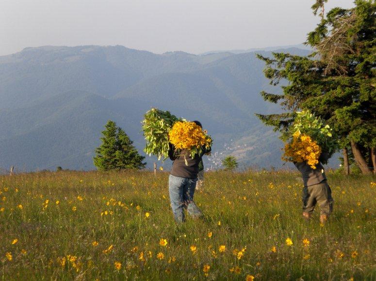 Cueilleurs d'Arnica montana