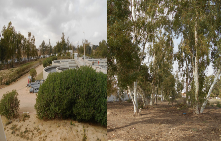 General view of the plot irrigated by treated wastewater since 2005 in the treatment plant El-Hamma and cultivated by Eucalyptus camaldulensis aged around ten years