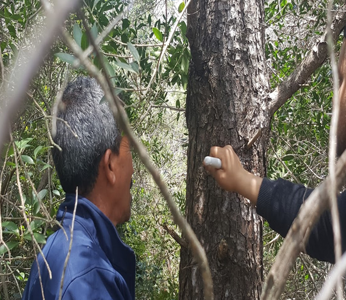 Resin tapping technique (Forest center of Sidi Bader - Tabarka)