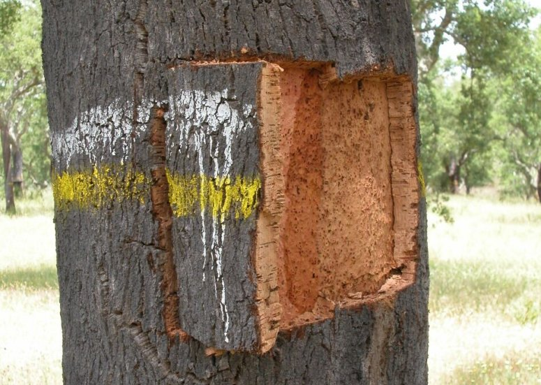 Cork sample (cala) being extracted from a tree.