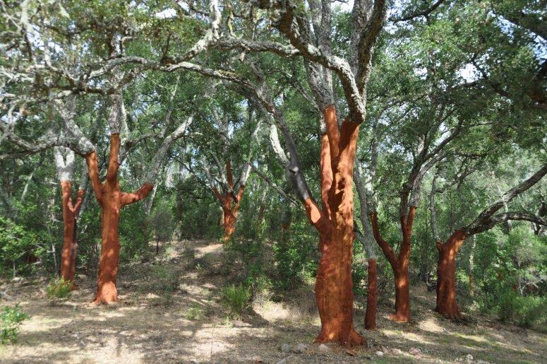 Public cork oak woodlands in Sardinia