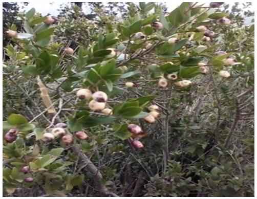 Myrtle fruits