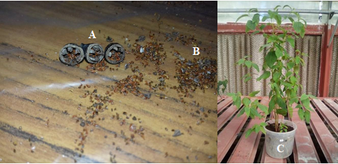 E.saligna morphological aspect  (A: fruit, B: seed, C: plant (6months after seed sowing) (INRGREF, 2016))