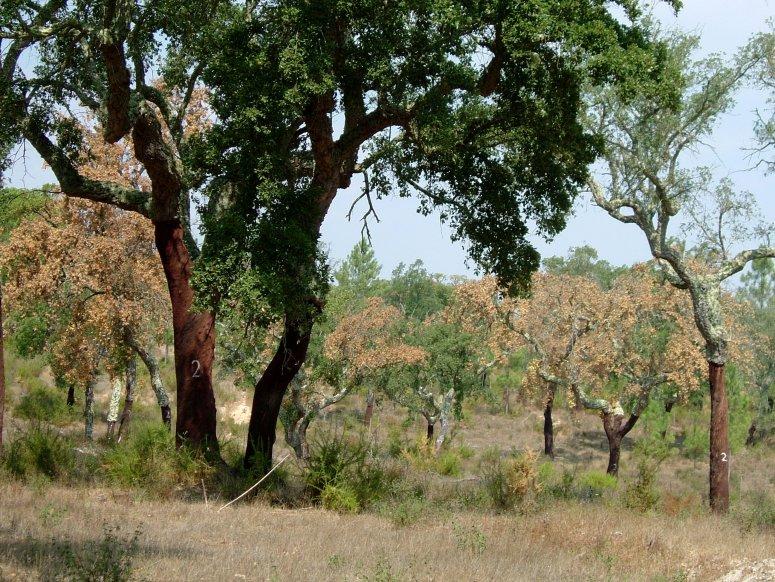 Cork oak sudden death phenomena
