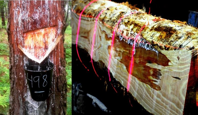 Pine tapped with wide face, 20 cm, (left) and resin-impregnated wood behind the wound after sawing (right)