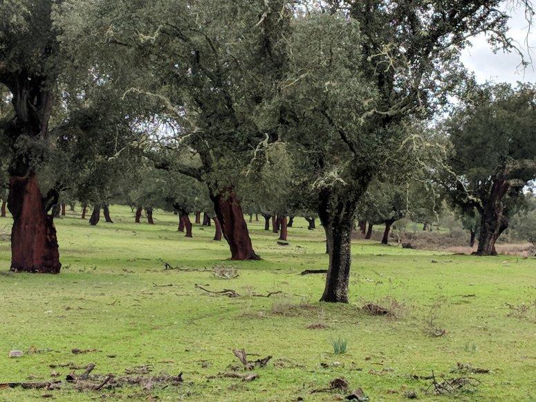 Cork oak stand in Extremadura (Spain)
