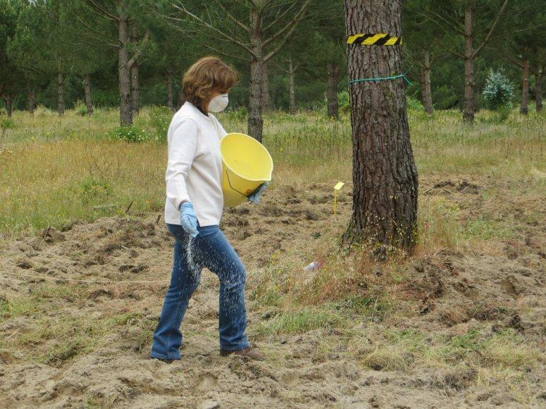 Fertilizer aplication in a stone pine stand experimental trial