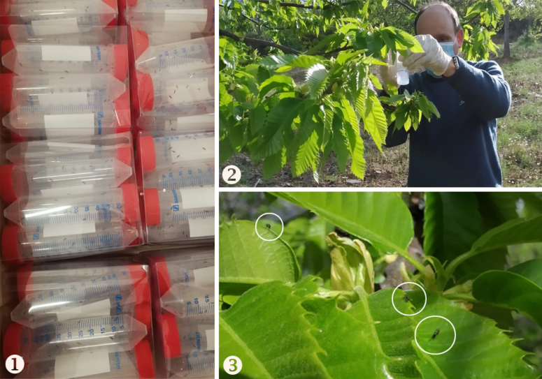 Most recent biological control action, carried out by the Agro-Forestry Association ARBOREA in partnership with several regional entities (IPB / CNCFS, PRORURIS, CM Vinhais and Parish Councils) (1) Parasitoid packaging (2) Parasitoid release in affected chestnut (3) Torymus sinensis after release (ARBOREA)
