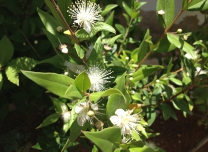 Flowers and leaves of Myrtus