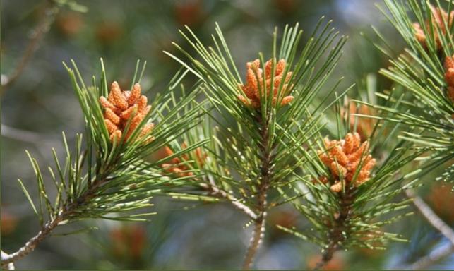Inflorecence of Pinus halepensis