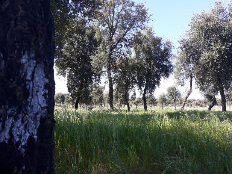 Permanent plot installed in a 20 year's old cork oak plantation (Évora, Portugal)