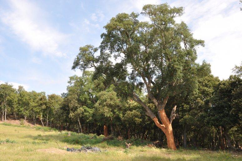 Mature and healthy cork oak