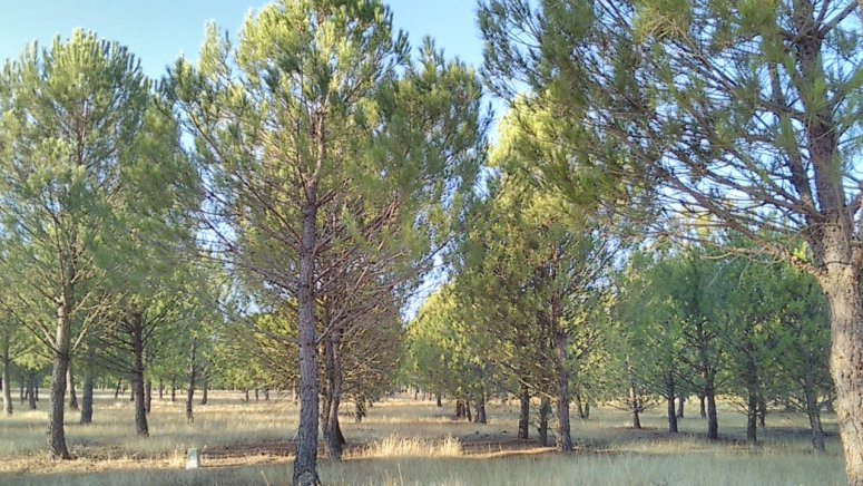 Early thinning in stone pine plantation forest