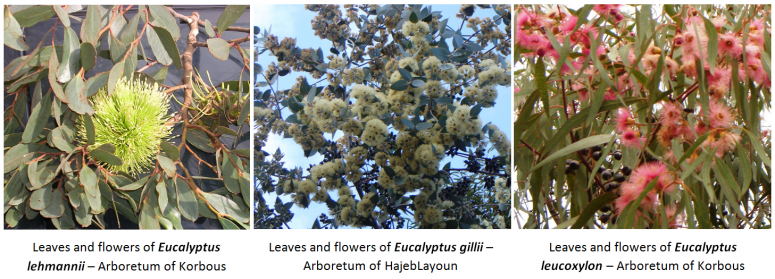 1. Leaves and flowers of Eucalyptus lehmannii – Arboretum of Korbous / 2.Leaves and flowers of Eucalyptus gillii – Arboretum of HajebLayoun / 3.  Leaves and flowers of Eucalyptus leucoxylon – Arboretum of Korbous